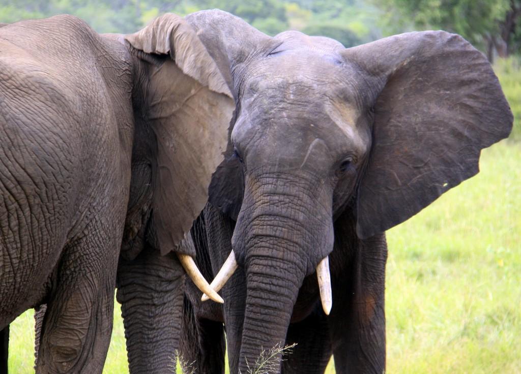 07. Elefanter Ivory Lodge, Zimbabwe (39)