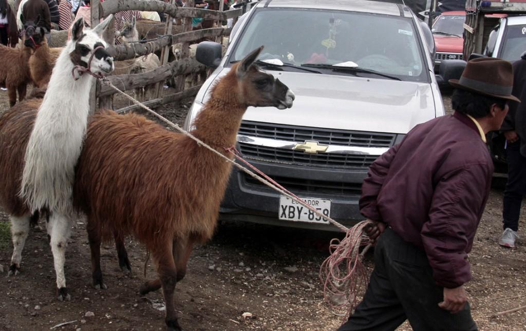 Ecuador - dyremarked (10)