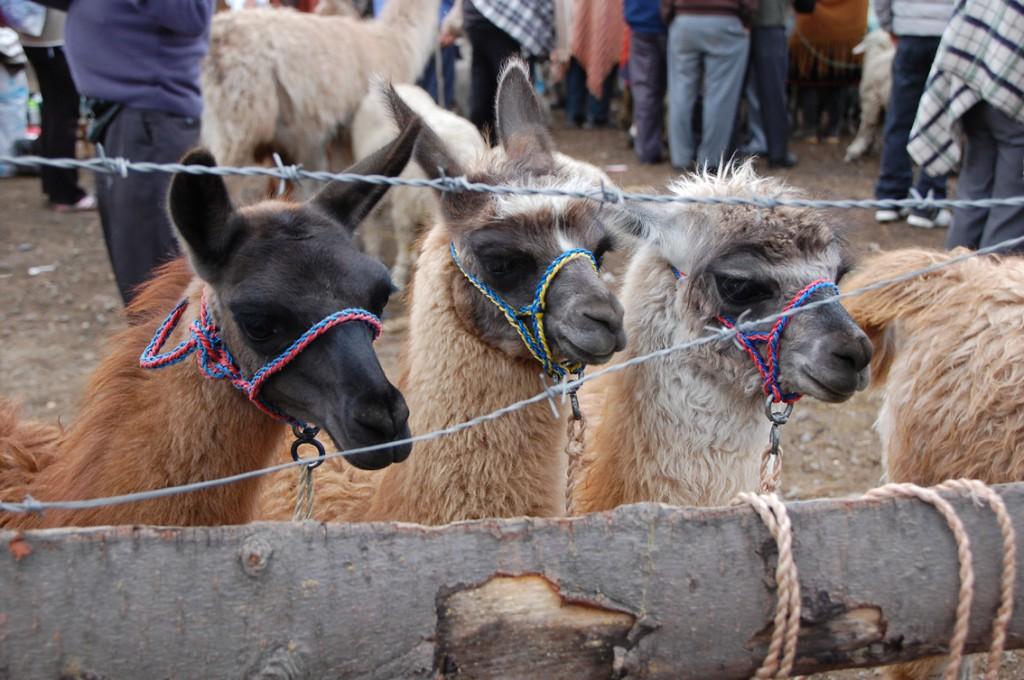 Ecuador - dyremarked (12)