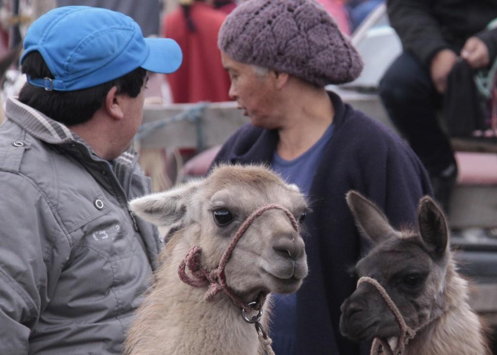 Ecuador - dyremarked (7)