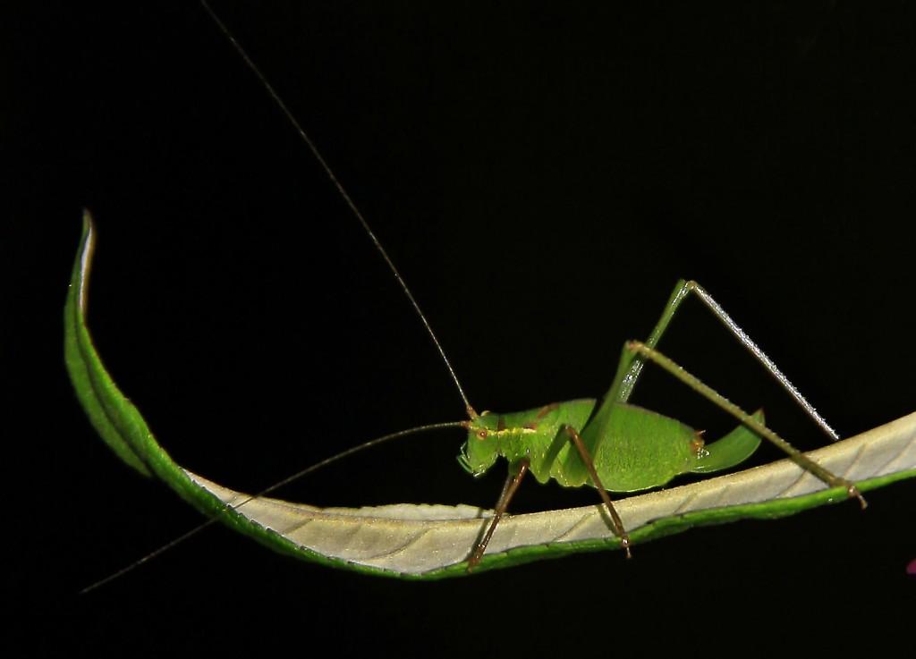 Egegræshoppe (11)