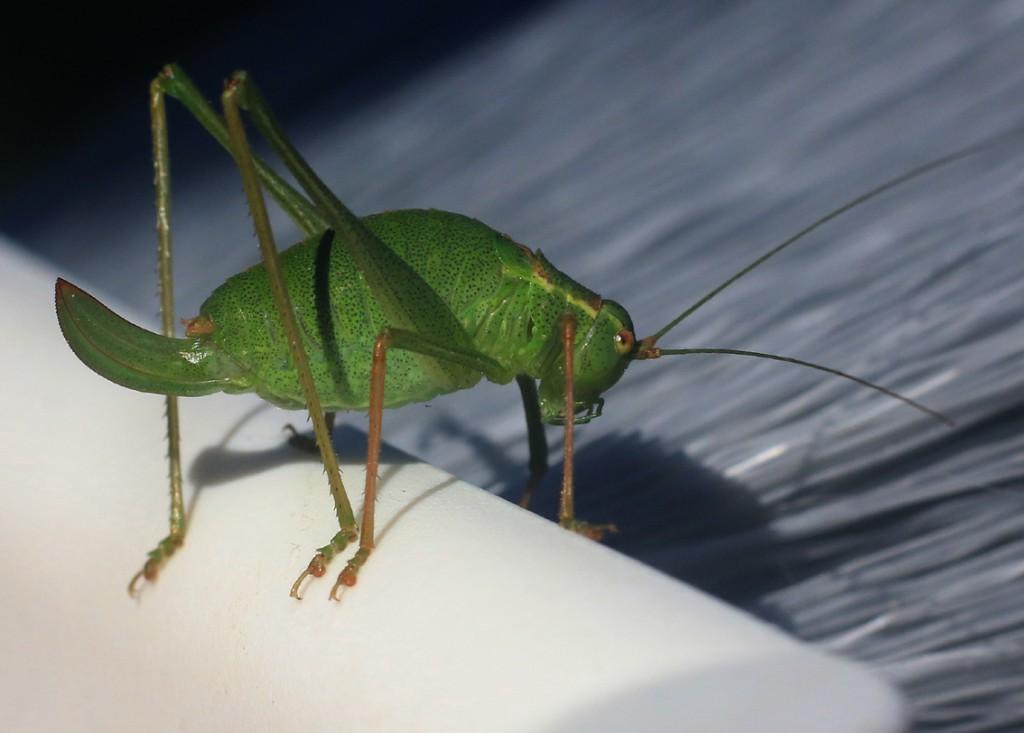 Egegræshoppe (14)