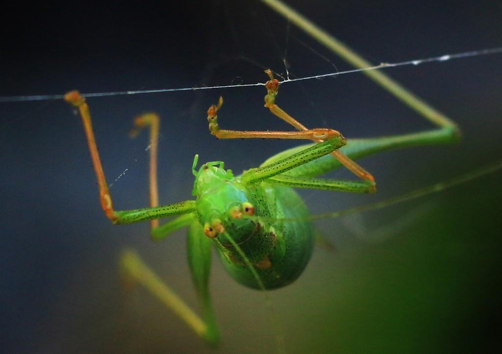 Egegræshoppe (17)