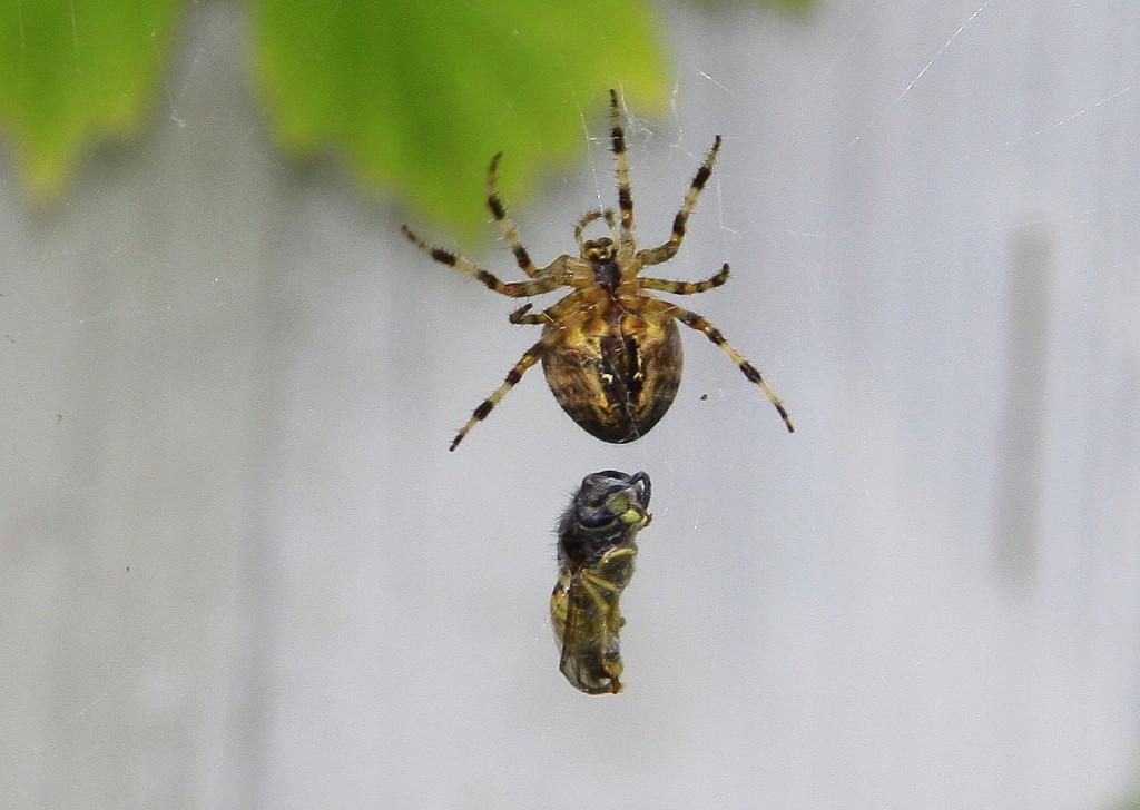 Korsedderkop henter flue (4)