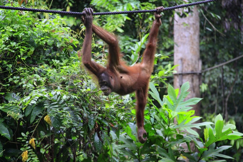Orangutang  (1)