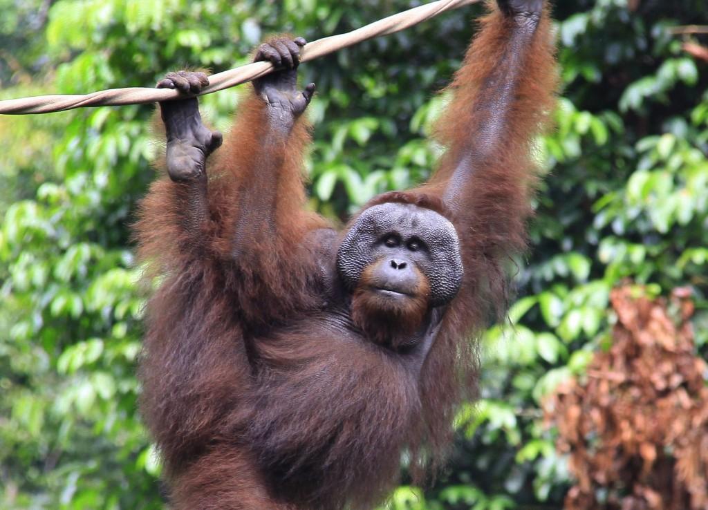 Orangutang  (10)