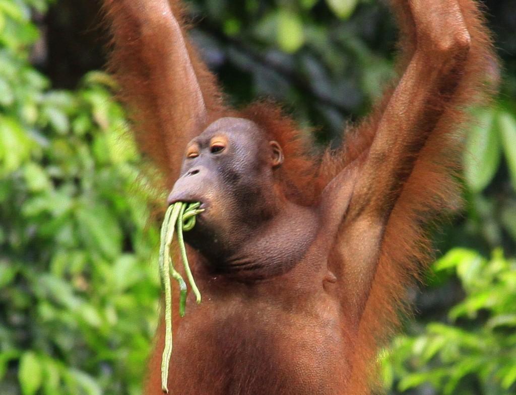 Orangutang  (3)