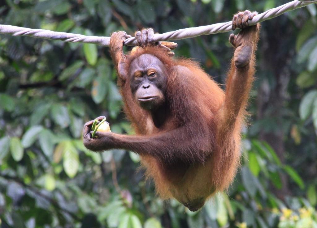 Orangutang  (7)