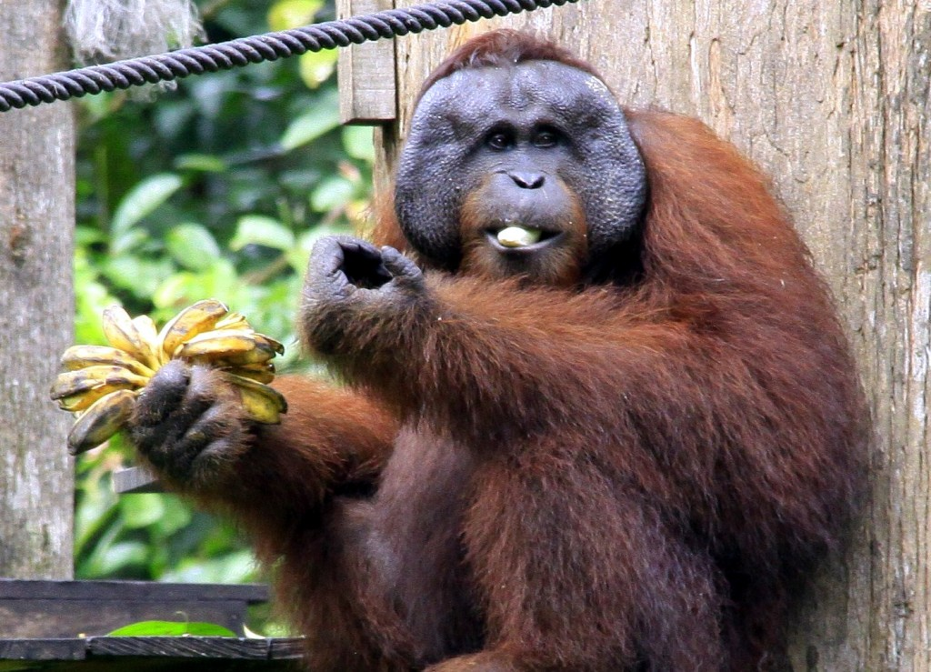 Orangutang P U00e5 Borneo